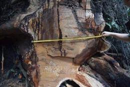Vụ phá rừng hương cổ thụ tại Gia Lai: Thiệt hại gần 20 m3 gỗ