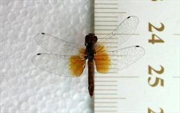 Phát hiện quần thể chuồn chuồn nhỏ nhất thế giới