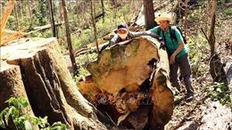 Vụ phá rừng bạch tùng hàng trăm năm tuổi ở Đạ Đờn: Bắt khẩn cấp hai đối tượng liên quan