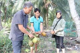 Nông dân trồng dừa mong muốn được hỗ trợ khắc phục hạn, mặn