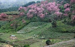 Mai anh đào bung nở rực rỡ nơi núi rừng Langbiang