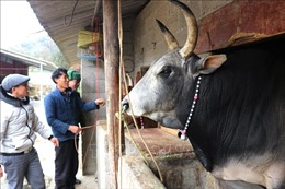 Chủ động bảo vệ đàn gia súc, giảm thiệt hại do rét đậm, rét hại