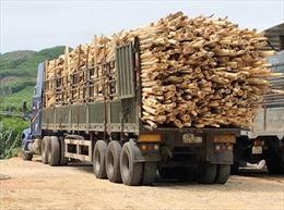 Quảng Ngãi chấn chỉnh hoạt động thu mua gỗ keo tự phát