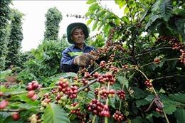 Thị trường nông sản tuần qua: Giá cà phê lại lao dốc
