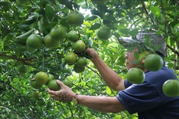 Hỗ trợ nông dân kinh phí khôi phục diện tích quýt hồng Lai Vung