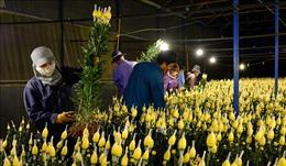Nhà vườn Đà Lạt tất bật thu hoạch hoa tết trong đêm
