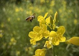 Rực rỡ cánh đồng hoa cải ở Suối Giàng (Yên Bái)