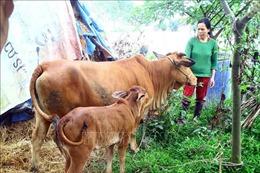 Khoanh vùng, dập dịch bệnh viêm da nổi cục trên trâu, bò