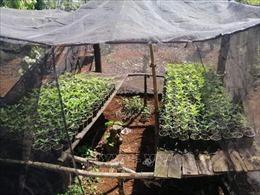 Mở rộng điều tra đường dây trồng và tiêu thụ cây cần sa quy mô lớn tại Đắk Lắk