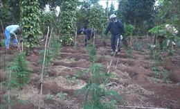 Đắk Lắk: Siết chặt xử lý tình trạng trồng cây chứa chất ma túy
