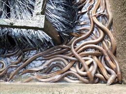 Khởi nghiệp thành công từ nghề nuôi lươn trên vùng kiểm soát lũ
