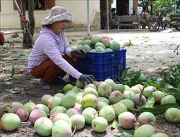 Hỗ trợ nông dân vùng 'thủ phủ' xoài tỉnh Khánh Hòa tiêu thụ nông sản