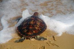 Thừa Thiên - Huế: Thả rùa biển quý hiếm về với đại dương