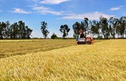Cà Mau hỗ trợ nông dân thu hoạch, tiêu thụ lúa Hè Thu