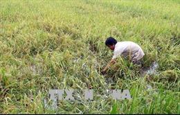 Cần chủ động thu hoạch lúa để tránh lũ sớm, triều cường