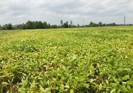 Vinasoy phát triển vùng nguyên liệu giống đậu nành trên cả nước