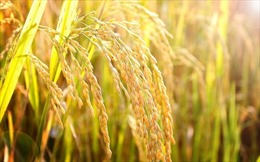 Philippines có thể là nước nhập khẩu gạo thứ hai thế giới