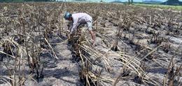 Tìm lại 'vị ngọt' cho đường ở các tỉnh Nam Trung bộ - Bài 2: Nguy cơ mất vùng nguyên liệu