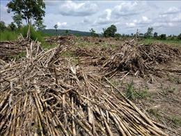 Thương lái từ chối thu mua, nông dân Long An ngậm ngùi đốt ruộng mía