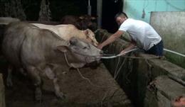 Hàng chục con bò kiệt sức vì bị bơm nước tăng trọng lượng trước khi giết mổ