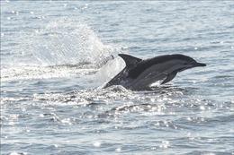 Loài cá 'lạ' ngư dân bắt được ở Bến Tre là cá heo nước ngọt
