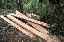 Bắt giữ hai đối tượng đốn hạ cây sa mu đường kính 1,7m