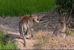 Truy bắt đàn khỉ hoang quậy phá cắn người ở Sóc Trăng