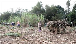 'Nóng' chuyện giá mía nguyên liệu tại Tuyên Quang