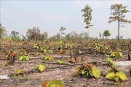 Bị chặt phá vườn tiêu sau khi tố cáo phá rừng