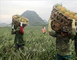 Dứa gai xuống giá, nông dân đứng trước nguy cơ vỡ nợ
