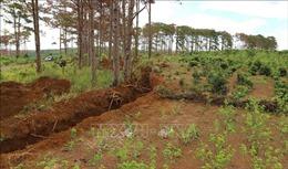 Khởi tố vụ án, truy tìm thủ phạm đầu độc hàng trăm cây thông tại Lâm Đồng