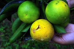 Bướm lâm nghiệp và ruồi vàng chích cam rụng hàng loạt