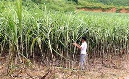 Nông dân Tuyên Quang ồ ạt phế canh mía