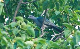 Bắt quả tang đối tượng bẫy chim rừng quý hiếm