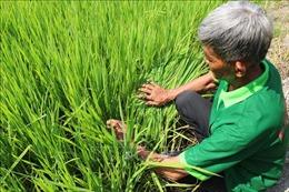 Khuyến cáo nông dân khi gieo sạ giống lúa Thiên Đàng