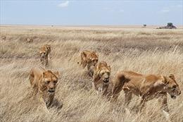 Bảy con sư tử xổng chuồng tại một trang trại ở Nam Phi