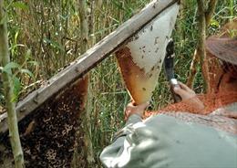 Nghề gác kèo ong trở thành Di sản Văn hóa phi vật thể quốc gia