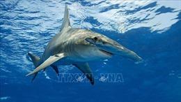 Báo động tình trạng sụt giảm số cá mập sinh sống ở dải đá ngầm