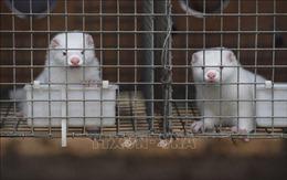 Hà Lan tiêu hủy thêm hai trang trại nuôi chồn nhiễm virus SARS-CoV-2