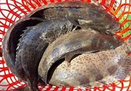 Hàng trăm tấn cá mú 'nghẽn' đầu ra do dịch COVID-19