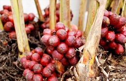Bất cập khi trồng thảo quả dưới tán rừng