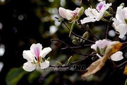 Điện Biên không tổ chức Lễ hội Hoa Ban