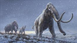 Giải mã ADN lâu đời nhất thế giới từ voi ma mút
