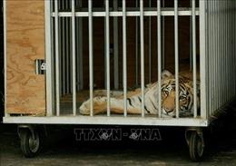 Phát hiện một gia đình nuôi hổ Bengal trong nhà