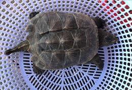 Bắt được rùa cá sấu quý hiếm ở đầm Thị Nại