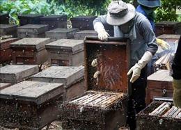 Râm ran 'mùa vàng' mật ong hoa nhãn Hưng Yên