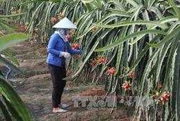 'Thủ phủ' thanh long Bình Thuận hướng tới xây dựng vùng nguyên liệu an toàn