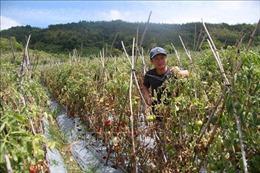 Hơn 3 ha cà chua chuẩn bị thu hoạch nghi bị 'hạ độc' bằng thuốc diệt cỏ