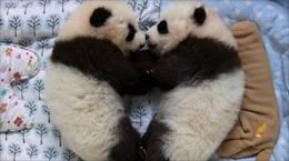 Cặp gấu trúc song sinh nặng nhất thế giới ra đời ở Trung Quốc