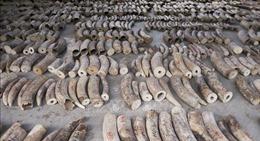Singapore tịch thu lượng ngà voi kỷ lục 8,8 tấn